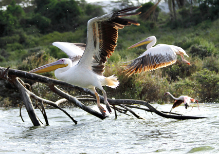 high  metabolic rate: Flying beautiful great Pelicans  Stock Photo