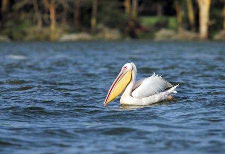 heterotrophs: Great White Pelican on clear Lake Navisha Stock Photo