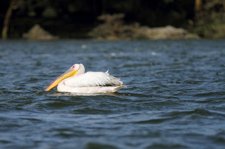 high  metabolic rate: Great White Pelican with beautiful yellow bill Stock Photo