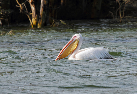 high  metabolic rate: Great White Pelican with large beautiful yellow bill Stock Photo
