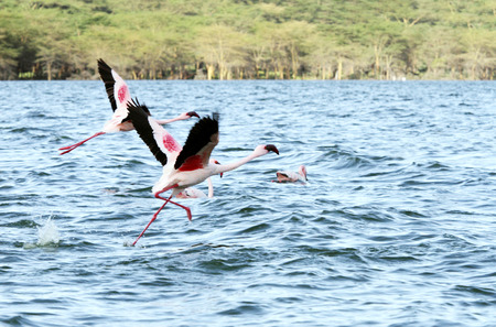 high metabolic rate: Beautiful Flamingos walking and flying