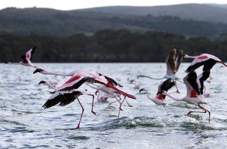 heterotrophs: Takeoff of beautiful Flamingos at Lake Naivasha  Stock Photo