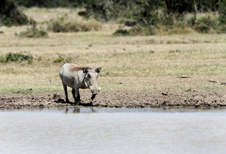 pig tails: A warthog near a water hole