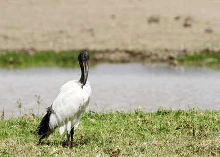 high  metabolic rate: A beautiful African Sacred Ibis near a water hole