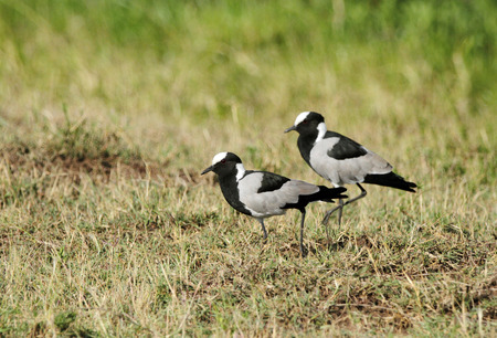 high metabolic rate: A pair of beautiful Blacksmith Plover