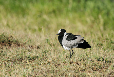 high metabolic rate: A Blacksmith lapwing