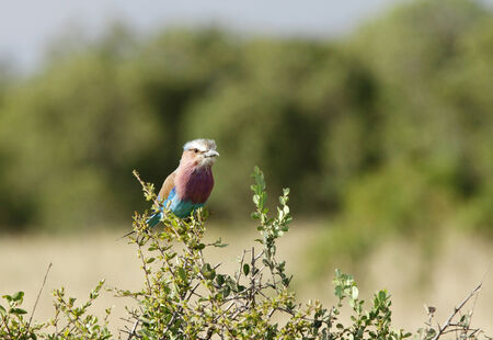high metabolic rate: A beautiful Lilac-breasted roller Stock Photo