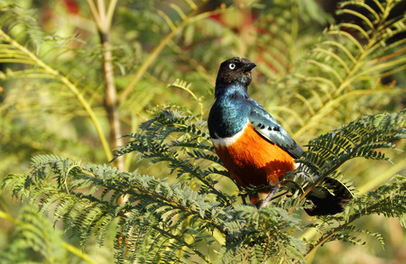 lake naivasha: Closeup of a beautiful Superb Starling
