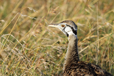 high metabolic rate: Closeup of Black-Bellied Bustard