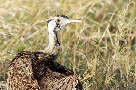 high  metabolic rate: Closeup of beautiful Black-Bellied Bustard