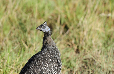 high metabolic rate: Closeup of a beautiful Helmeted Guineafowls