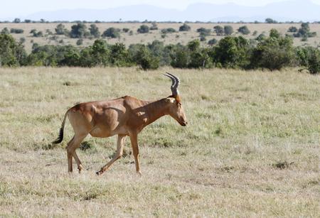 eukaryotic: Beautiful Hartebeest antelopes in Savannah Stock Photo