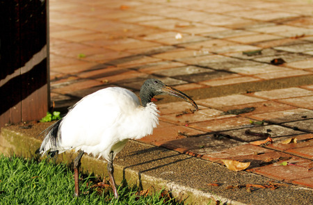 heterotrophs: A beautiful African Sacred Ibis roaming near a courtyard