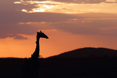 A Giraffe at Sunset, Masai Mara Kenya  photo
