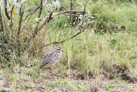 heterotrophs: A beautiful Spotted Thick-knee bird