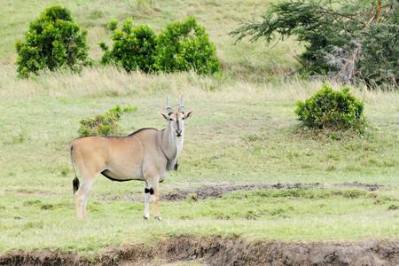 A Beautiful Giant Eland antelope in Savanna grassland