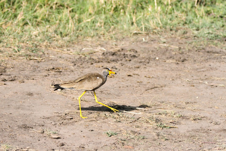bipedal: A African Wattled lapwing