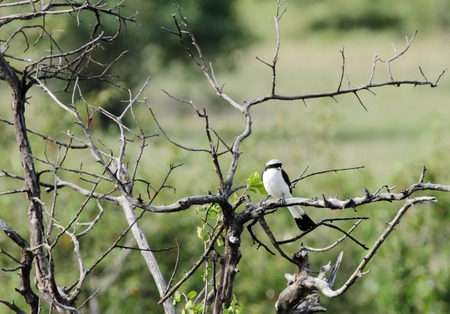 A beautiful Grey-Backed Fiscal