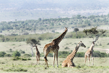 necking: A standing and a resting Giraffe