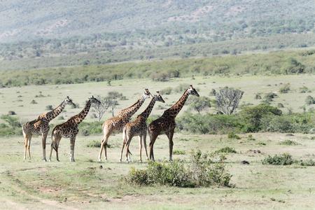 lining up: Giraffes lining up in grassland