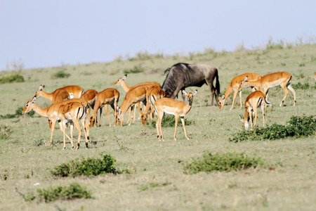 A herd on Impala and a wildebeest