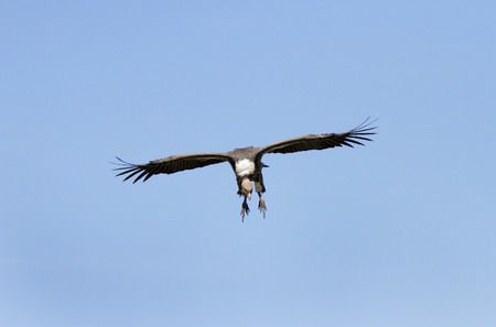strong skeleton: African White-backed Vulture on blue sky