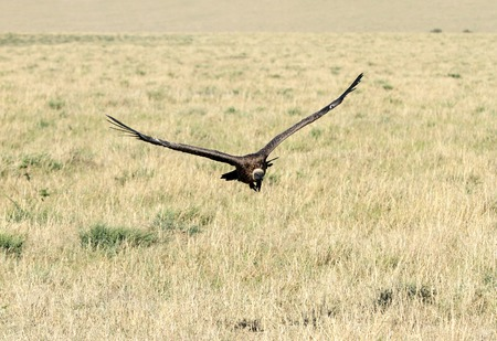strong skeleton: Vast grassland and the landing Vulture Stock Photo
