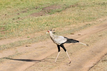 heterotrophs: A beautiful Secretary bird in Masai Mara open savanna Grassland Stock Photo