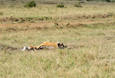 carcass: A Carcass of antelope in Masai Mara Grassland