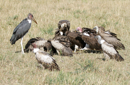 strong skeleton: A Marabou Stork and a Wake of vultures
