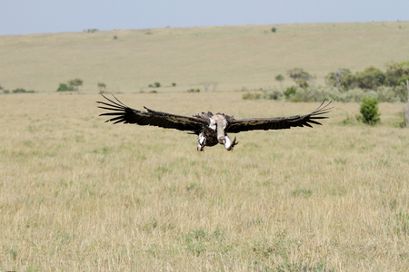 strong skeleton: A African White-backed Vulture on flight