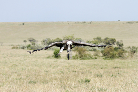 strong skeleton: A flying African White-backed Vulture in Savanna