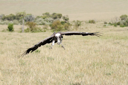 gyps: A landing scavenger
