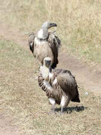 strong skeleton: Two African White-backed Vulture Stock Photo