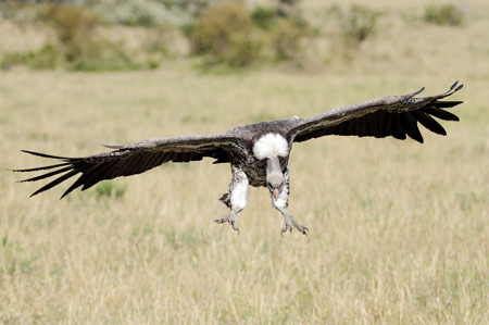 strong skeleton: A African White-backed Vulture landing