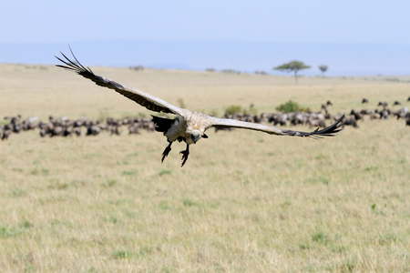 strong skeleton: A landing African White-backed Vulture in Masai Mara Grassland