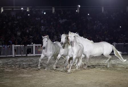 horse andalusian horses: Beautiful lusitano horses performing in sand arena
