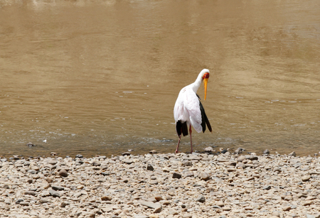 strong skeleton: A beautiful yellow billed stork on the sands of Mara river