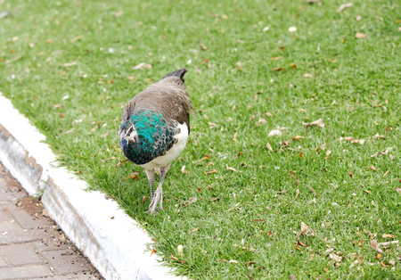 peahen: A beautiful Peahen on the grass
