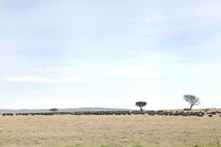 masai mara: A herd of wild Buffaloes in the Masai Mara Grassland Stock Photo