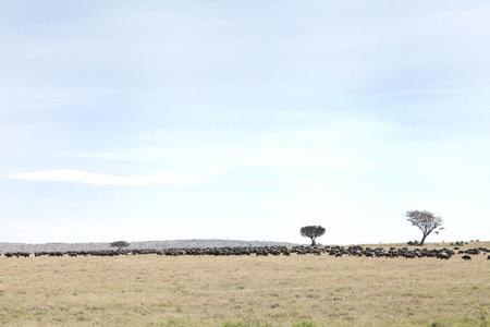 masai mara: A herd of wild Buffaloes in the Masai Mara Grassland Stock Photo