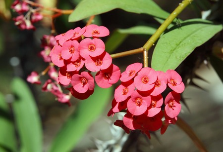 malpighiales: Clusters of beautiful Euphorbia Milii flowers Stock Photo