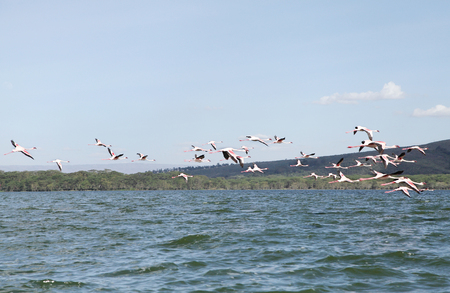 strong skeleton: Beautiful Lesser Flamingos at Lake Naivasha Stock Photo