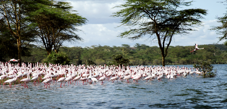 lake naivasha: Flock of beautiful Lesser Flamingos Stock Photo