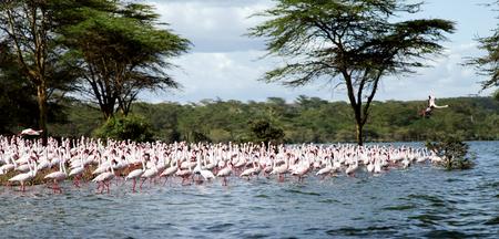 heterotrophs: Flock of beautiful Lesser Flamingos Stock Photo