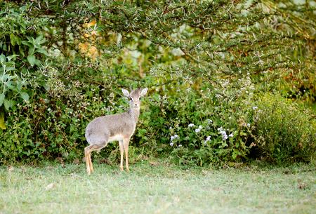 bovidae: A beautiful Dik Dik antelope near Lake Naivasha