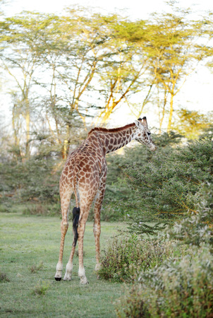 naivasha: A beautiful Giraffe eating acacia thorn and leaves Stock Photo