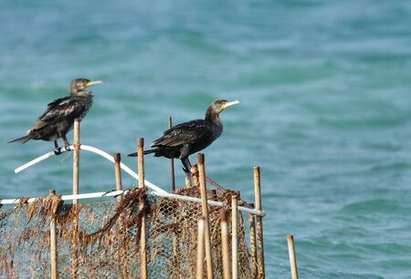 suliformes: Cormorants perched on the fishing net