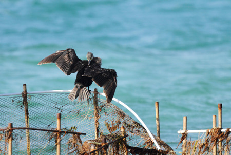 suliformes: Cormorant spreading and drying its wings