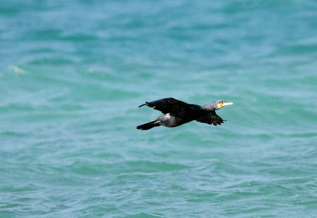phalacrocoracidae: A cormorant in flight Stock Photo